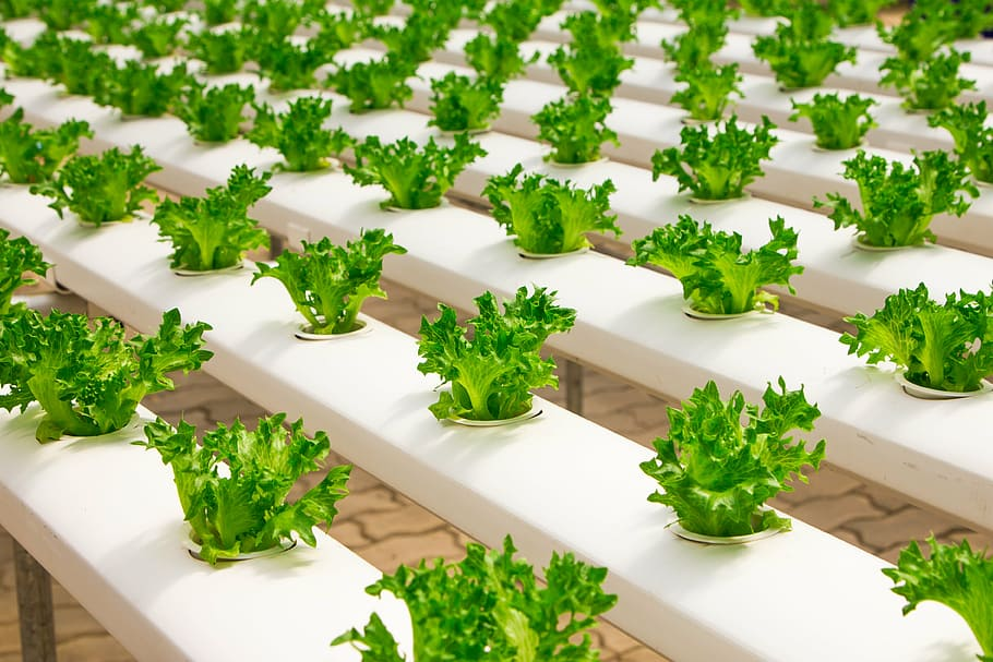 young lettuce growing in nft hydroponic system