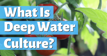 what is deep water culture