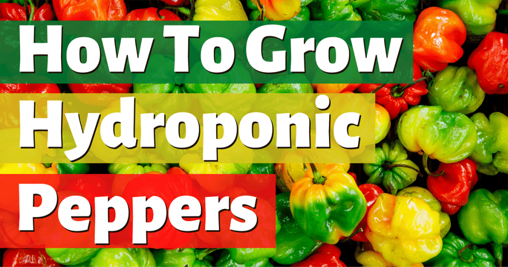 how to grow hydroponic peppers