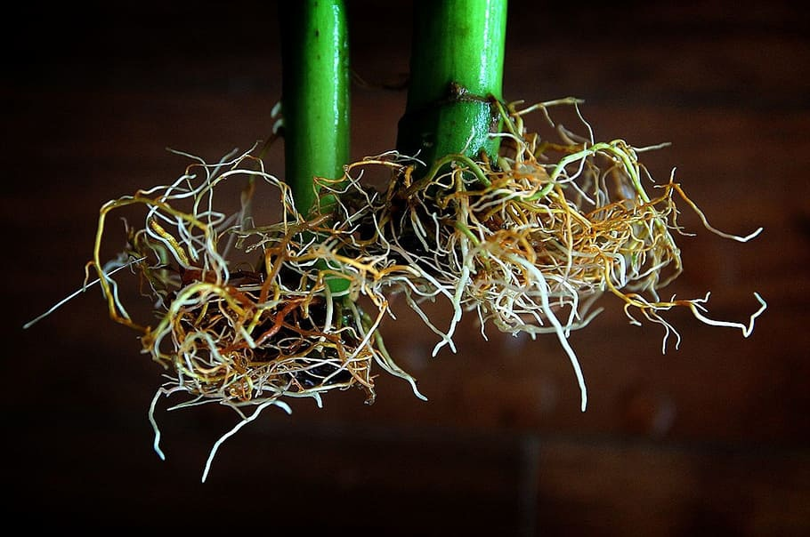 healthy hydroponic plant roots