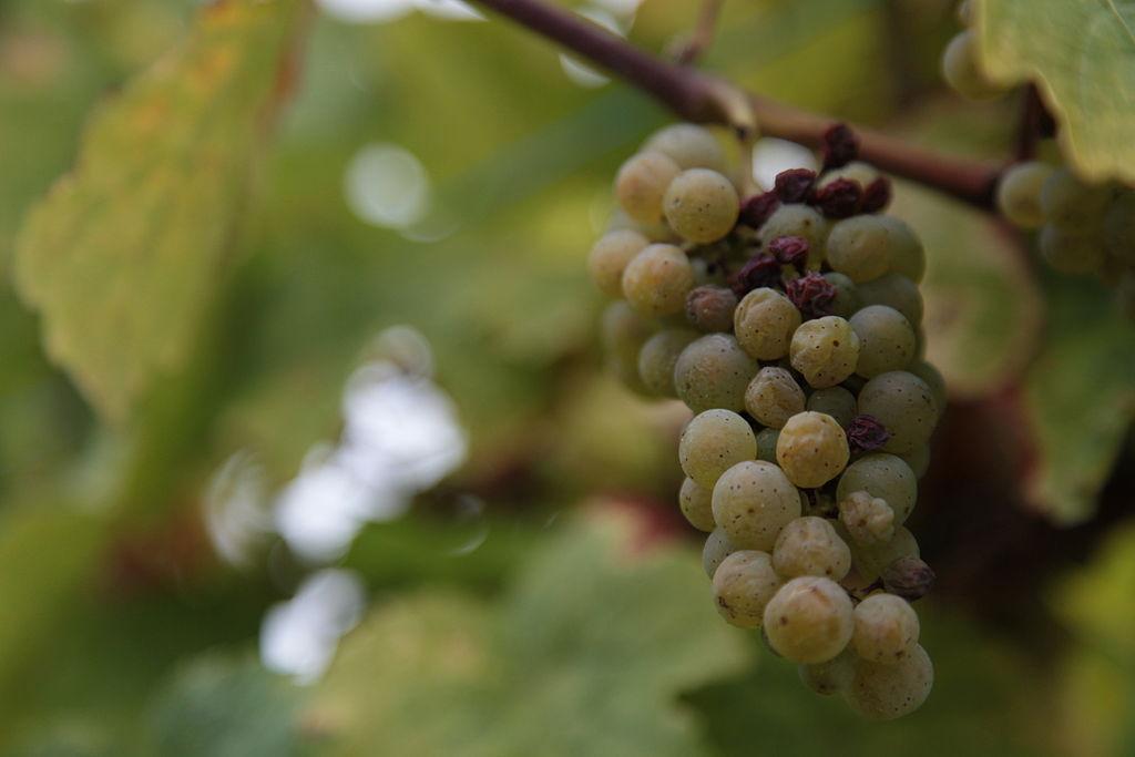 botrytis cinerea on grapes