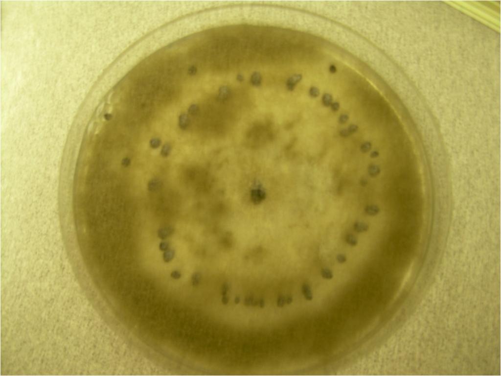 botrytis on petri dish