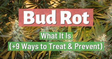 bud rot
