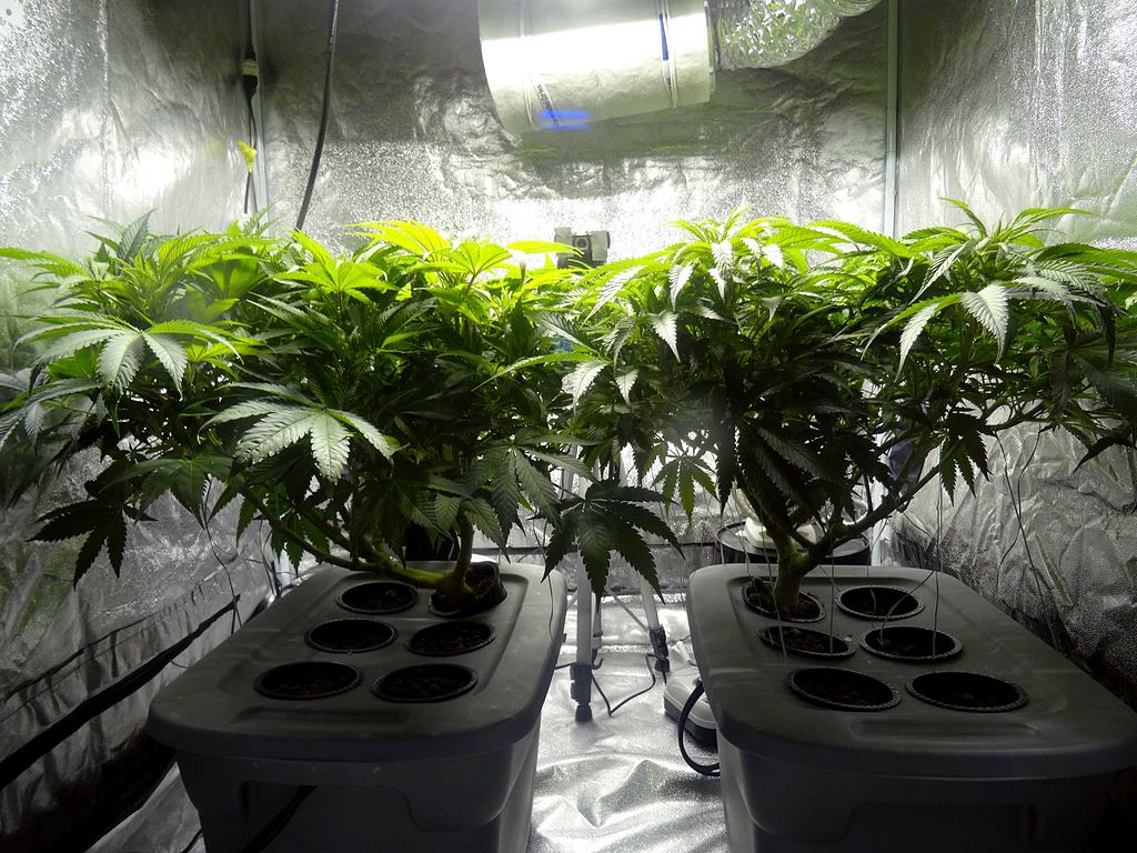 Hydroponic cannabis in a grow tent